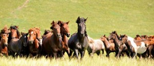 Ngựa được nuôi thành đàn