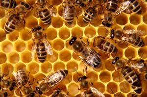 Mật ong trong tự nhiên trong tổ