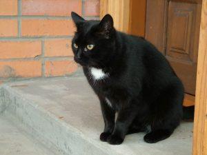 cao mèo đen Đak Nông