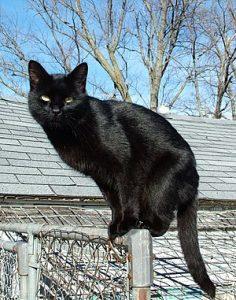 cao mèo đen tại Khánh Hòa