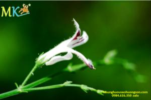 hoa Xuyen Tam Lien